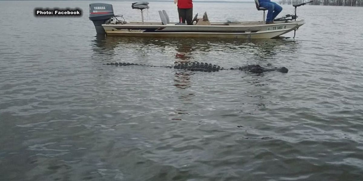 Game warden monitoring 13-foot gator on Lake Sam Rayburn