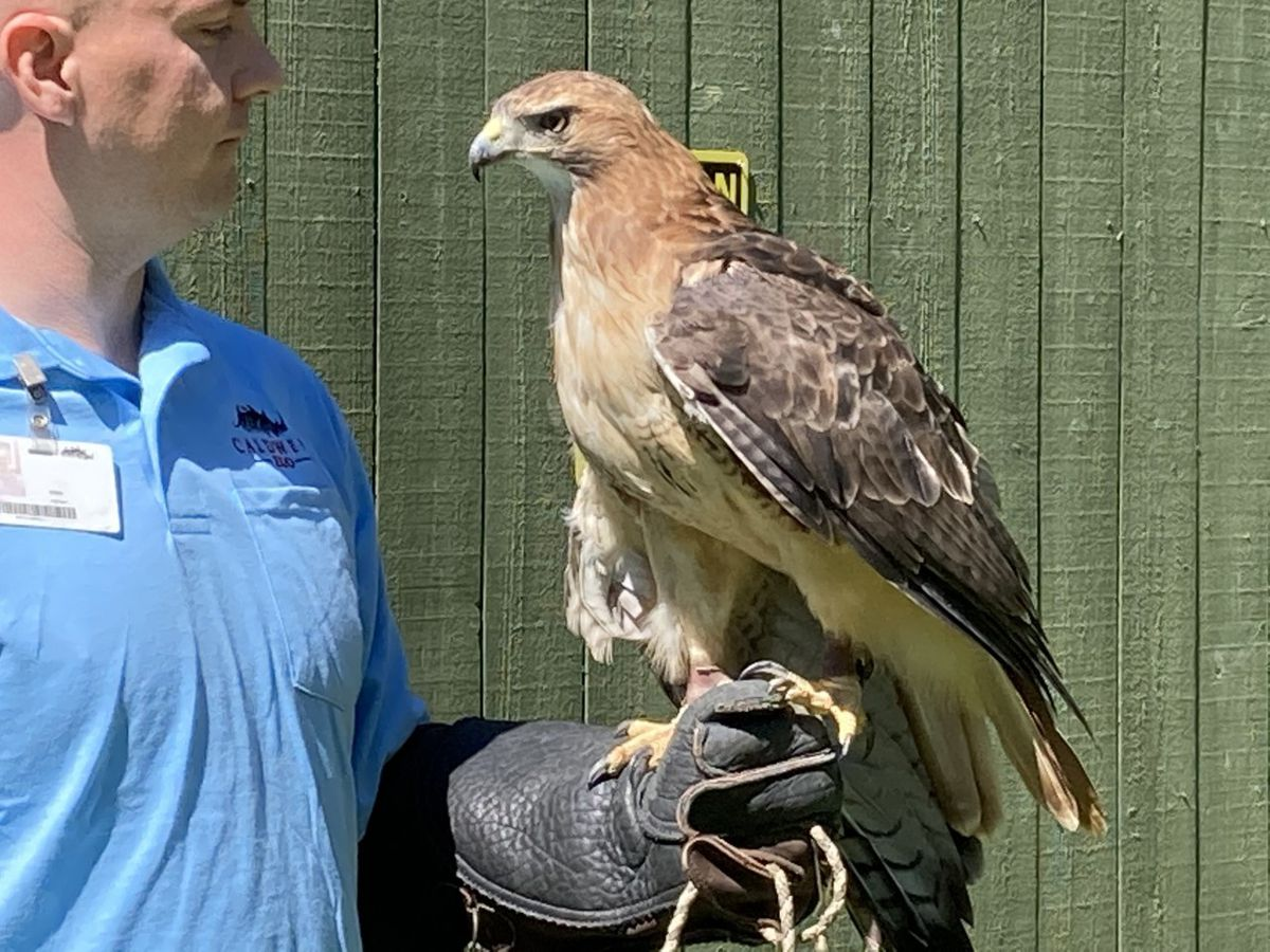 Caldwell Zoo's red-tail hawk an ambassador bird with a story to tell