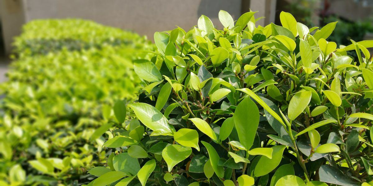 East Texas Ag News: Benefits of pruning trees and shrubs