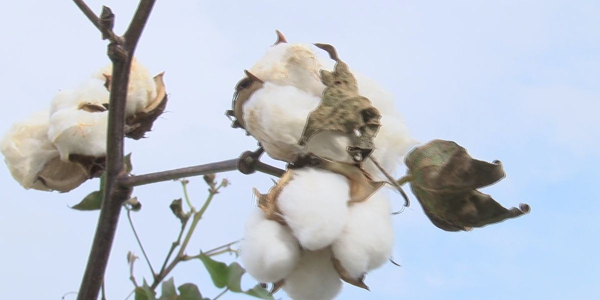 East Texas Ag News: How weather affected cotton crops this year