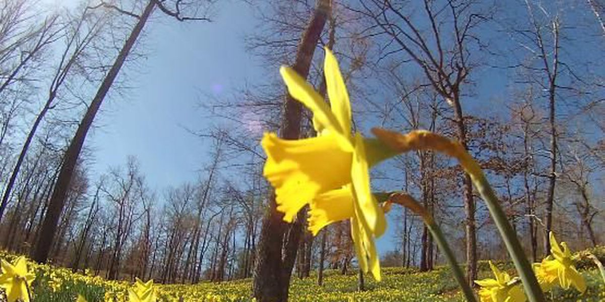 A million blooms at Mrs. Lee's Daffodil Garden