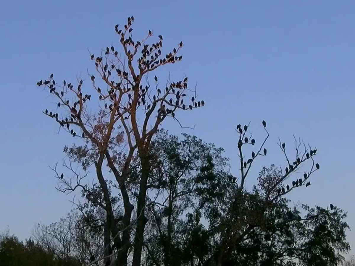 WEBXTRA: City manager: Pyrotechnics used to scare off vultures seem to be working