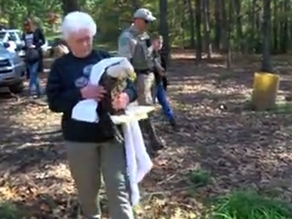 Rahabillitated bald eagle released back into wild
