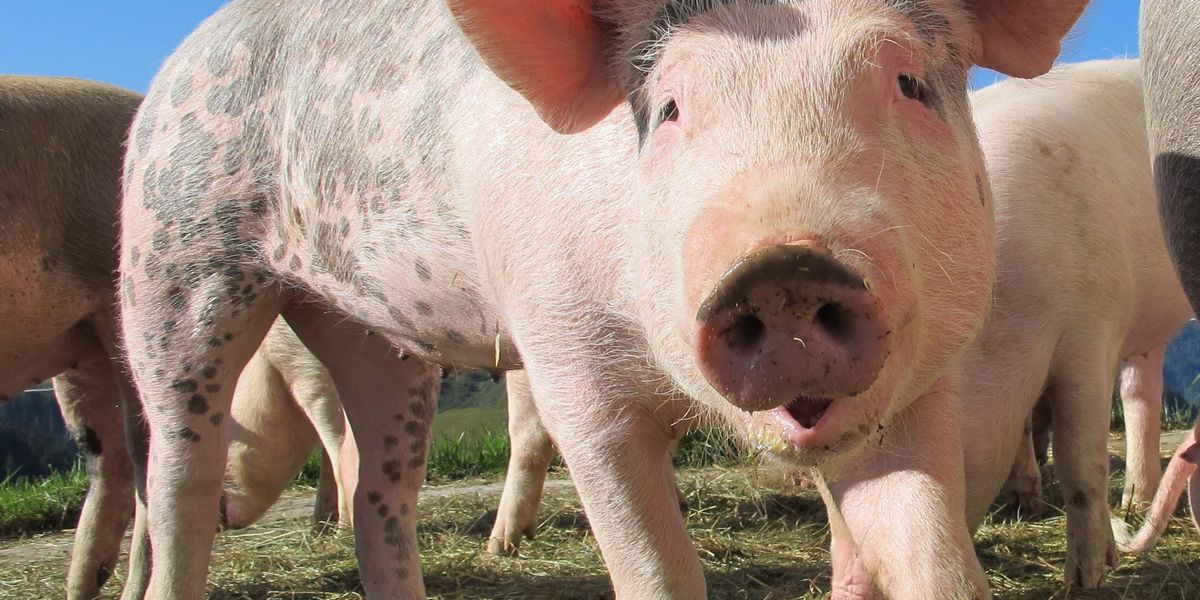 East Texas Ag News: Breeding hogs on the rise in the US