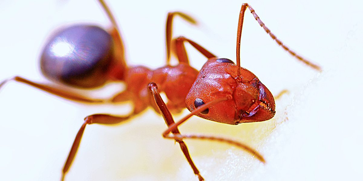 East Texas Ag News: Expect to see more fire ants