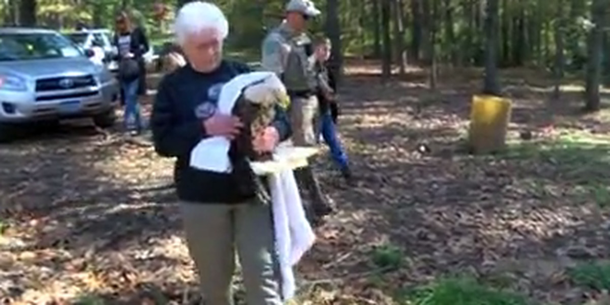 Rahabillitated bald eagle released back into wild