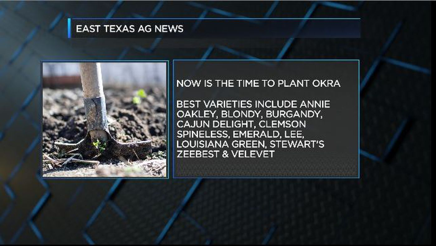 East Texas Ag News: Best varieties of okra to plant in East