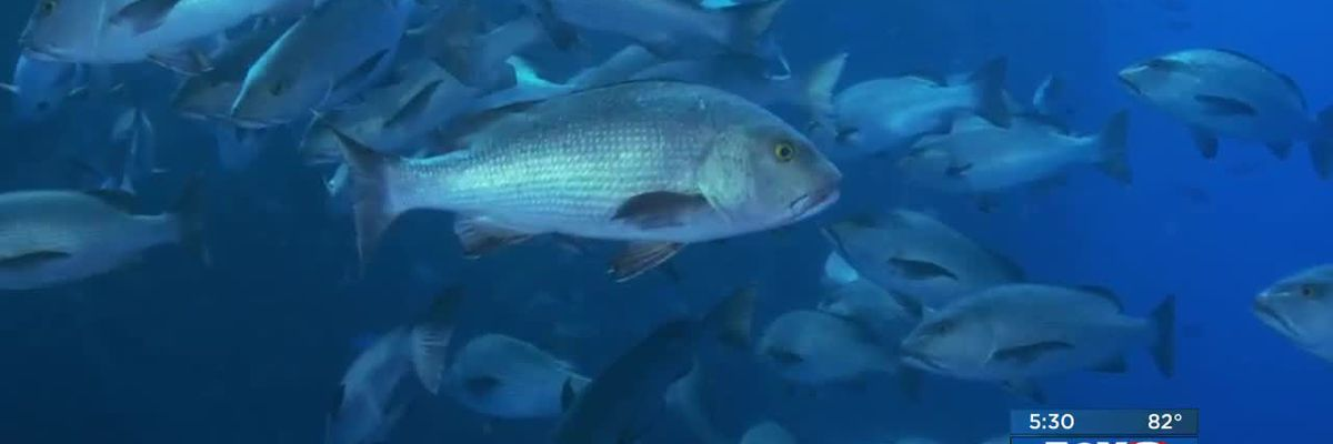 New study estimates three times more Red Snapper in Gulf of Mexico