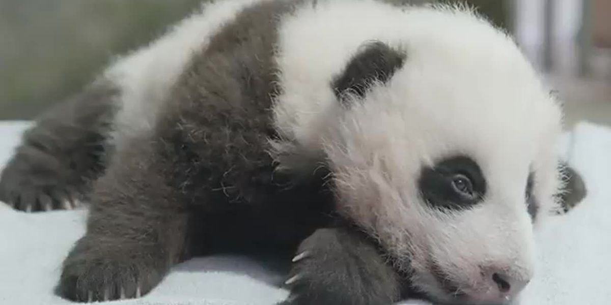 WATCH: Cuddly giant panda cub turns 11 weeks old, gets checkup