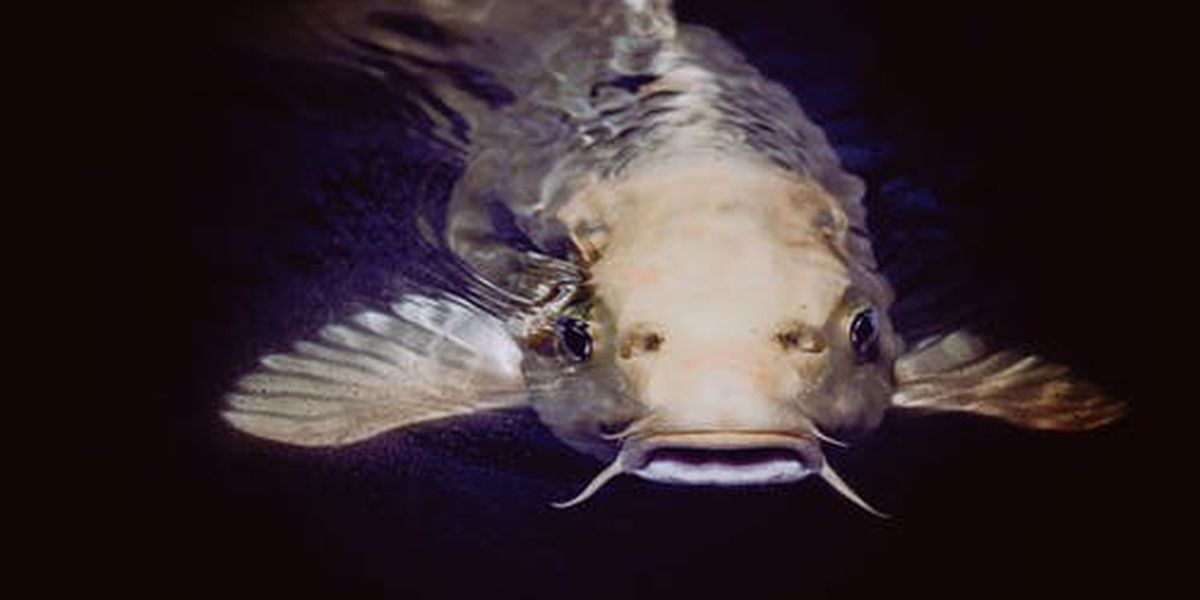 East Texas Ag News: Tips on raising catfish in your pond