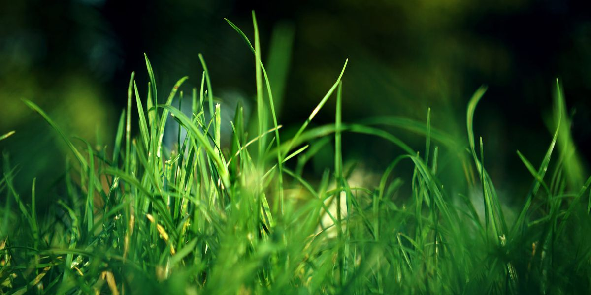 East Texas Ag News: San Augustine lawns require work to get rid of tough weeds