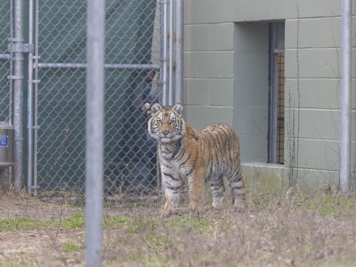 Tiger cub rescued from San Antonio area arrives at Black Beauty Ranch