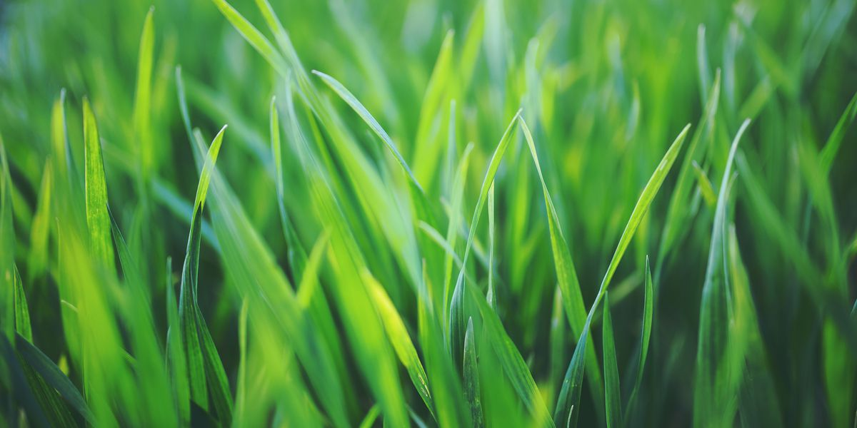 East Texas Ag News Grass Varieties In East Texas