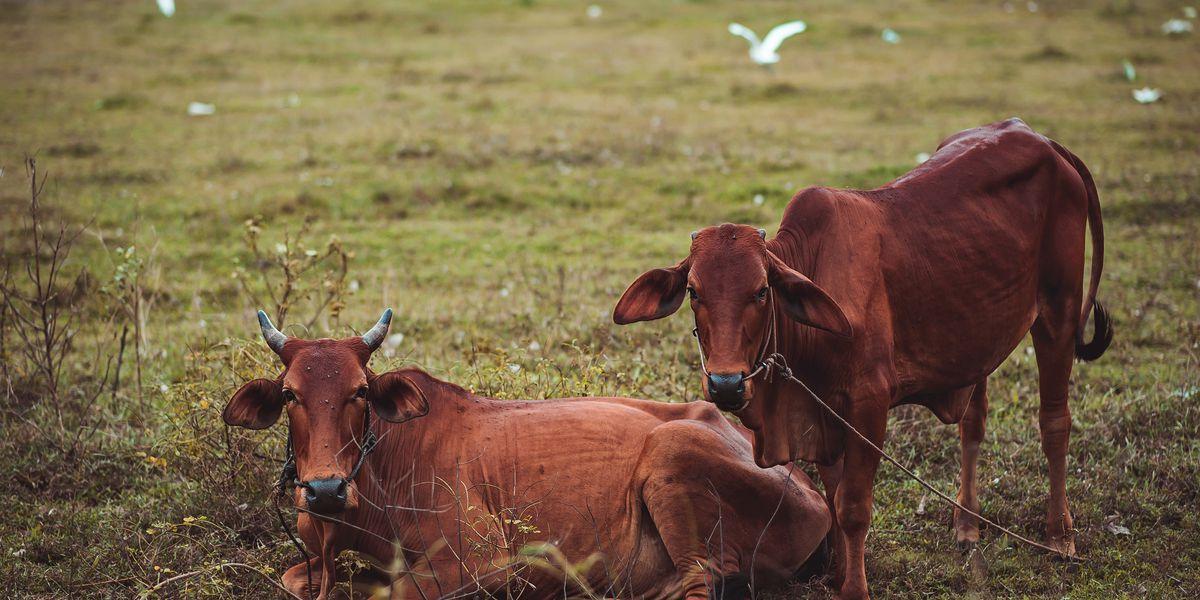 East Texas Ag News: Controlling horn flies