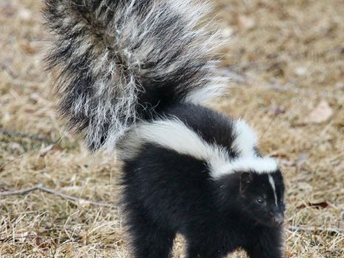 Smith County Animal Control releases advisory after skunk tests positive for rabies