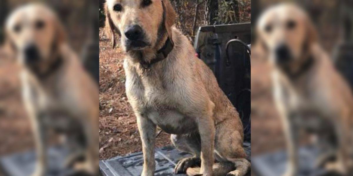 Man recalls seeing the fatal shooting of Gypsy the yellow Labrador retriever
