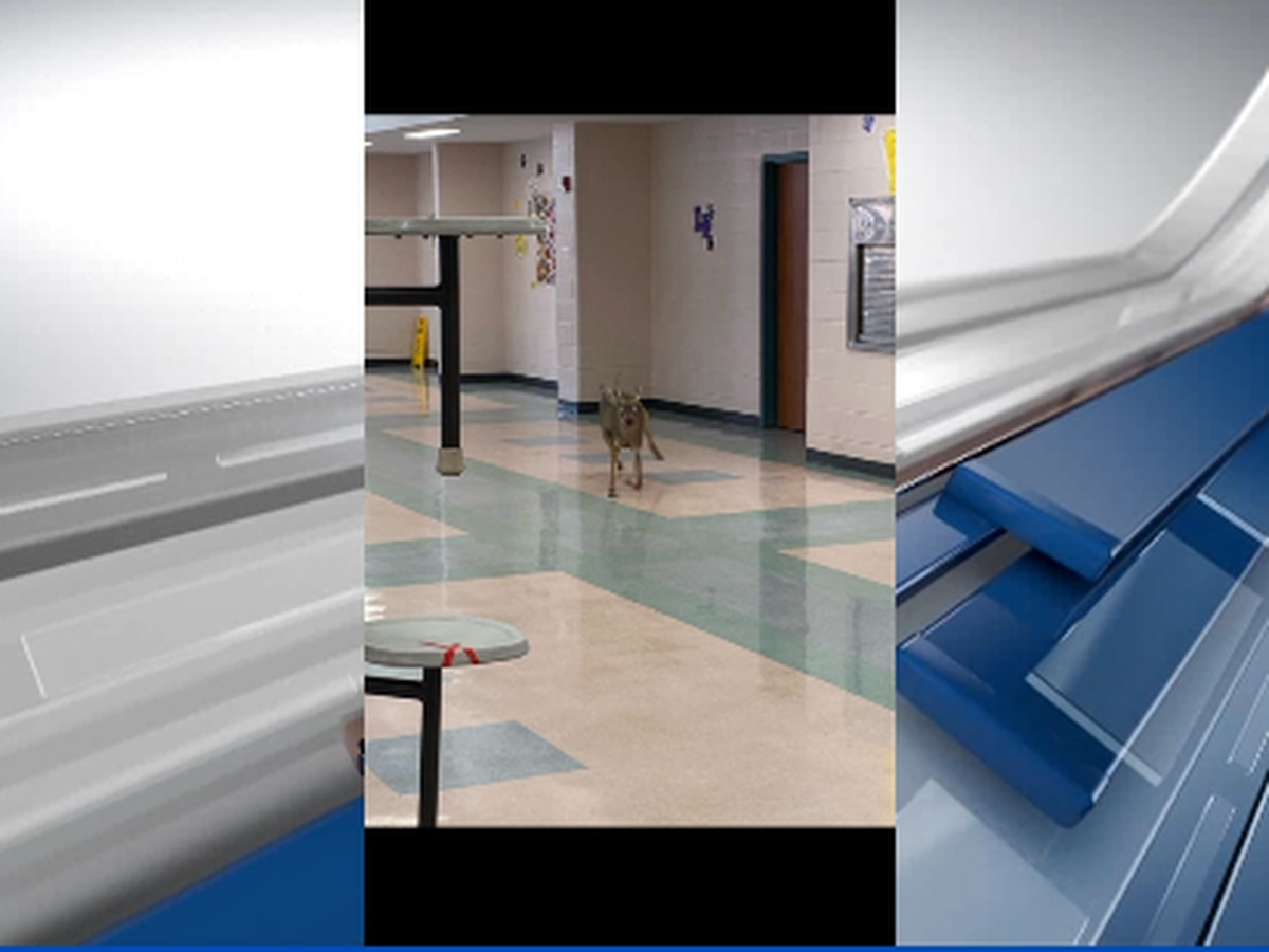 Lunch break-in: Deer crashes into Lufkin High School cafeteria