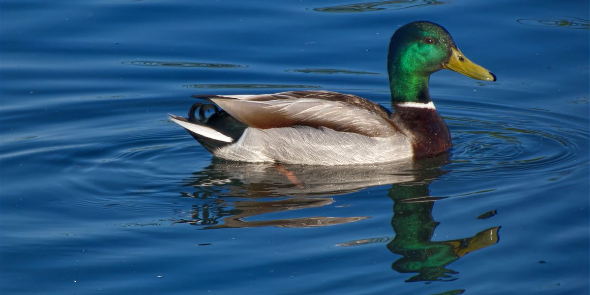 Young duck numbers could spell hunter successes during waterfowl opening day