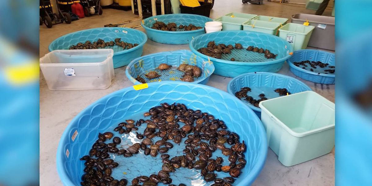 Florida men accused of poaching thousands of turtles as part of wildlife trafficking ring