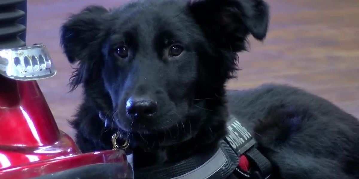 Army veteran gets training with first service dog, Willow