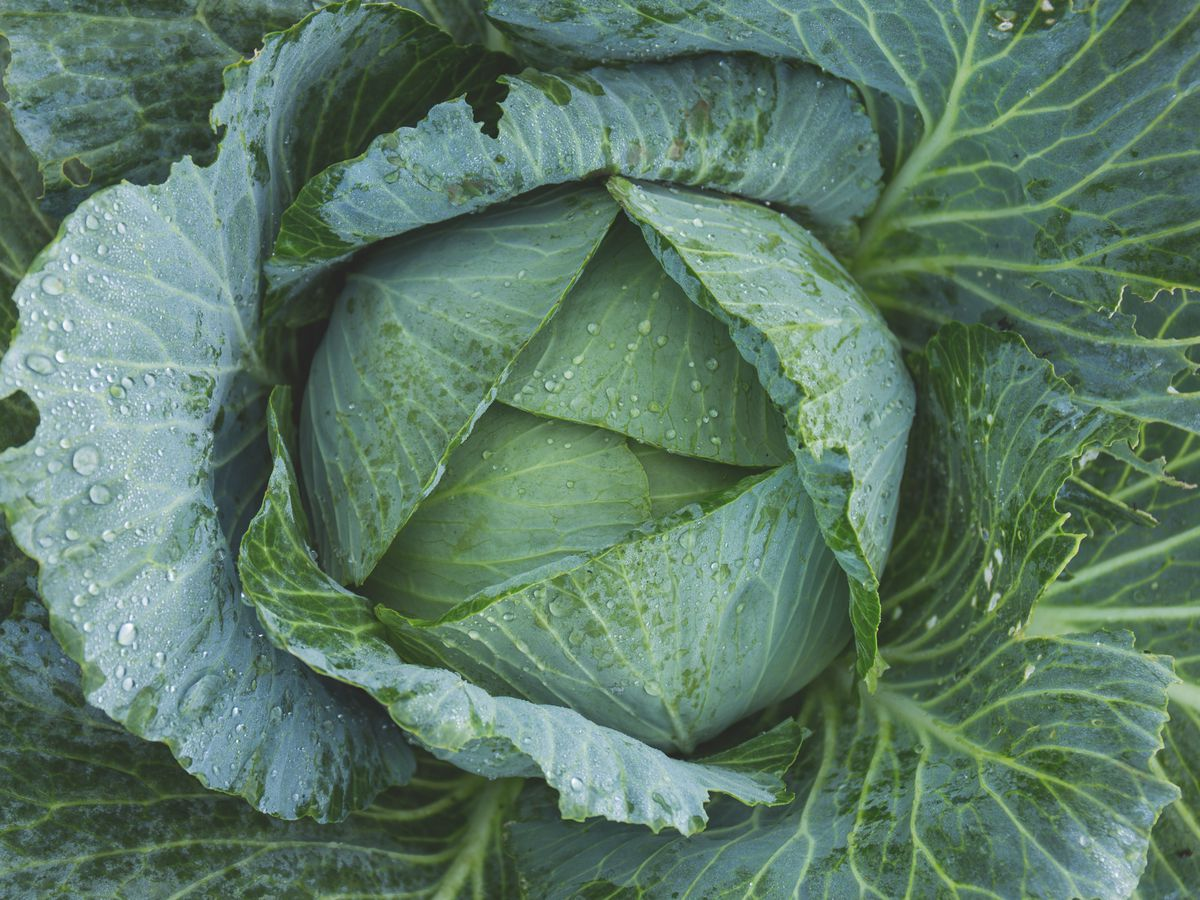 Cabbage: A good option for our gardens